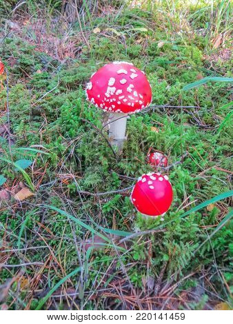 Reds in a white peas fly agaric, on a glade in the forest.