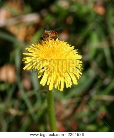 Bee On Top Of  Dandelion