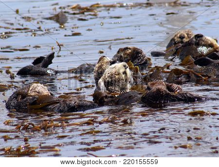 Cute sea otter yawns and stretches while floating in the ocean with sea otter family at Morro Bay, California.