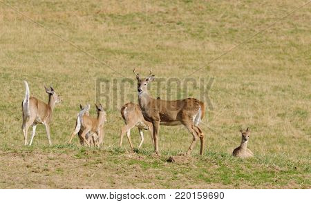 Whitetail buck with running deer