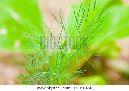 Fresh Dill Tree