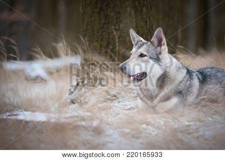 wolf in forrest in winter in forrest