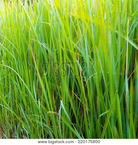 Freshness Verdant Green Of Vetiver Grass Blade