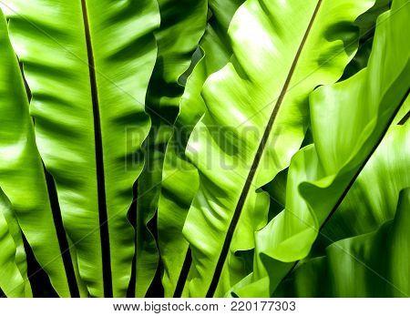 Close up freshness and big leaves of Bird's nest fern (Asplenium nidus) in the tropical garden