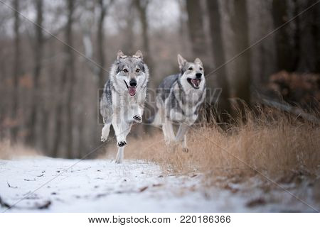 wolves in forrest in winter time on snow