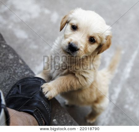 Golden Retriever Puppy Pleading