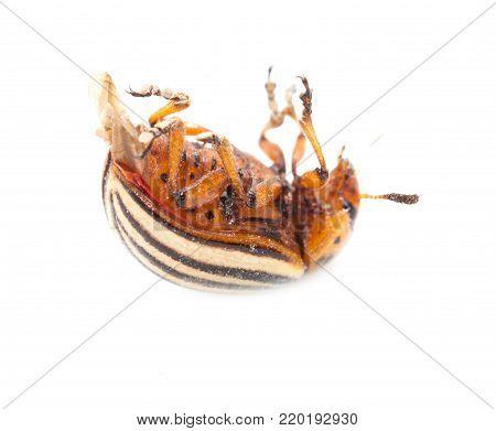 Colorado potato beetle on a white background .