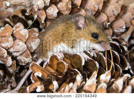 Side full body view of a juvenile brown house mouse on a bed of pine cones.