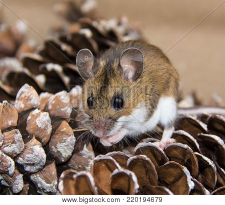 A frontal face view of a house mouse or Mus musculus sitting on a pile of pine cones.