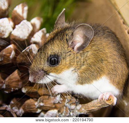 The side view of a house mouse or Mus musculus, resting on a pine cone.