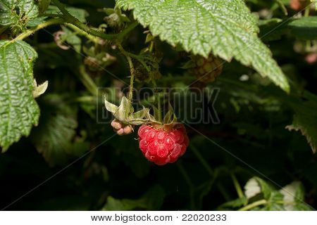 aspberry Berries Ripen On A Bush