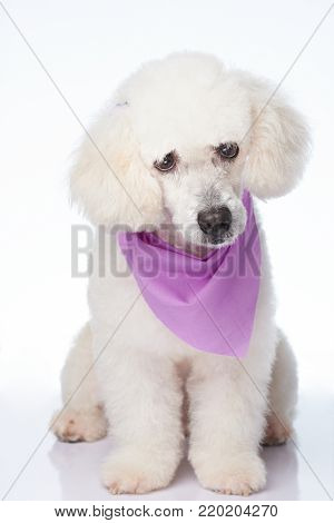 Sitting cute white poodle dog with groomed haircut