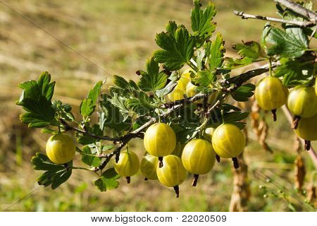 Branch Of A Bush Of A Gooseberry