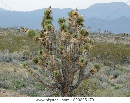 Desert plant of the Southwestern United States