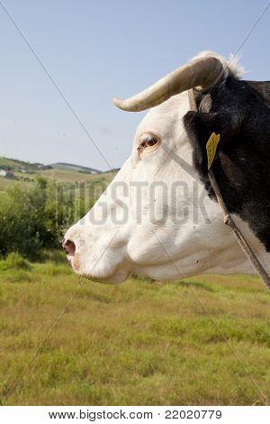 Cow close up