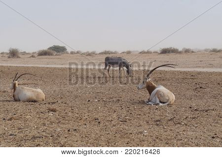 Wild donkey and antelope Oryx were introduced from Sahara desert and well adopted in nature reserve near Eilat, Israel. Sand storm