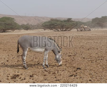 Wild donkey  was introduced from Sahara desert and well adopted in nature reserve near Eilat, Israel. Sand storm