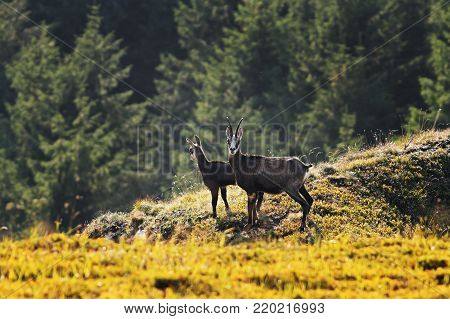 chamois goats in natural environment, Ceahlau mountains, Romania