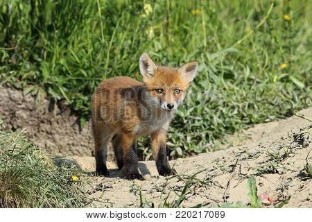 eurasian red fox cub ( Vulpes ); wild animal in natural environment, curious about the camera