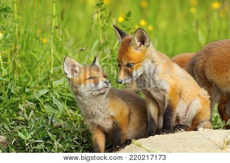 european red fox cubs in natural habitat ( Vulpes ); wild animals near the den in spring