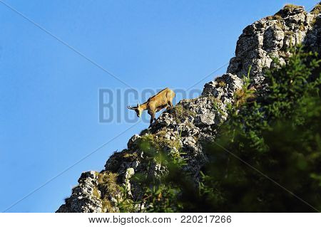mountain wild goat on ridge, chamois in Ceahlau mountains, Romania