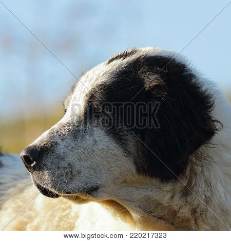 portrait of motley romanian shepherd dog over out of focus background
