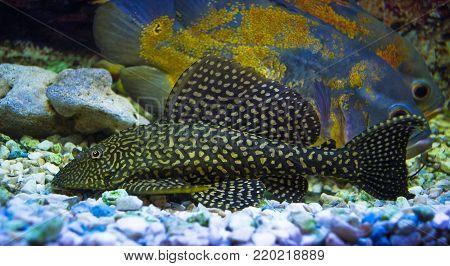 Sailfin Pleco. Plecostumus fish. Loricariidae. aquaria exotic