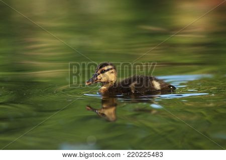Anas platyrhynchos. The wild nature of the Czech Republic. Spring in nature. Bird on water. Wild nature. Bird and water. Colorful feathers. Beautiful nature photos. European nature.