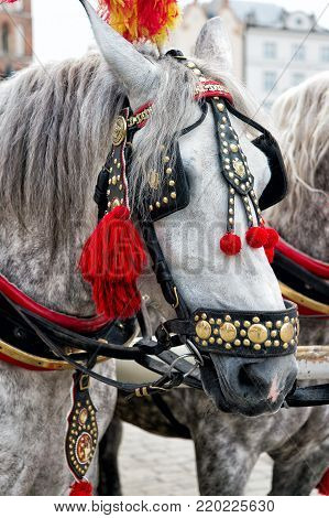 Horse with grey mane, harness, feather, pompon, brass decoration in square in krakow, poland. Ride, tour, sightseeing, travel concept