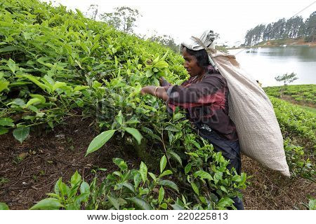 Tea production and tea pickers in Sri Lanka