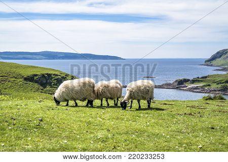 Sheep and goat at the bay called Camas nan Geall, Ardnamurchan, Scotland