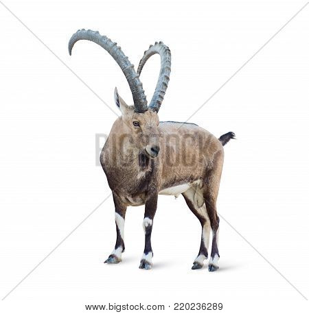 Alpine Ibex isolated on white background, long and strong horns