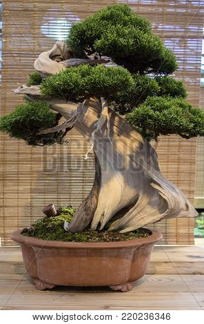 Bonsai Juniperus Chinensis. The age of about 150 years.