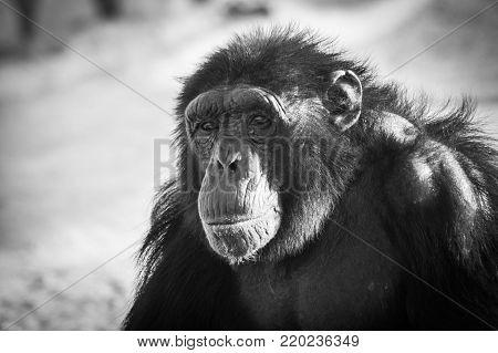 Chimpanzee photo in zoo,