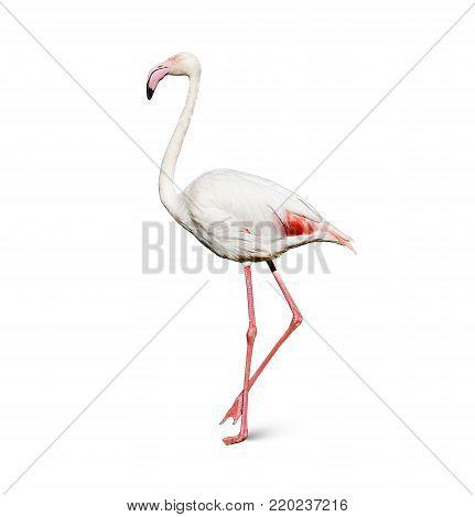 flamingo isolated on white background, long pink legs