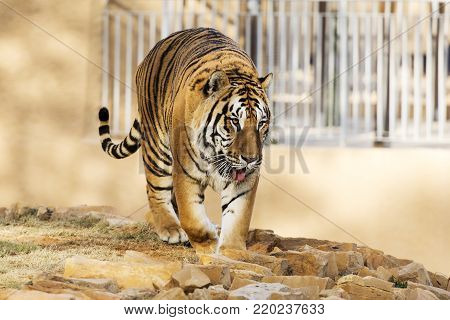 Tiger in the nature habitat.  Wildlife scene with danger animal. Hot summer in Rajasthan, India. Dry trees with beautiful indian tiger, Panthera tigris