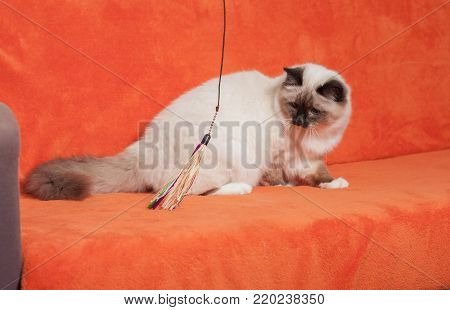 A seal point Birman cat, 9 month old cat , male with blue eyes is sitting on sofa