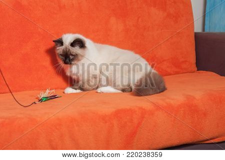 A seal point Birman cat, 9 month old cat , male with blue eyes is sitting and playing on sofa