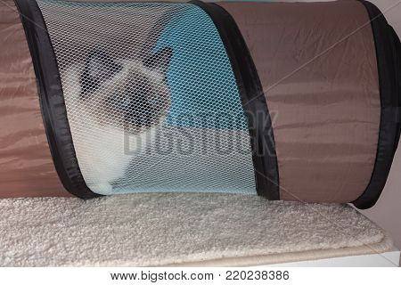 A seal point Birman cat, 9 month old cat, male with blue eyes hiddens into the cat  barrel