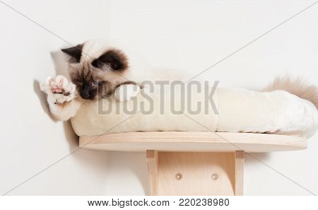 A seal point Birman cat, 9 month old cat , male with blue eyes is hunting little red dot produced by a laser pointer.