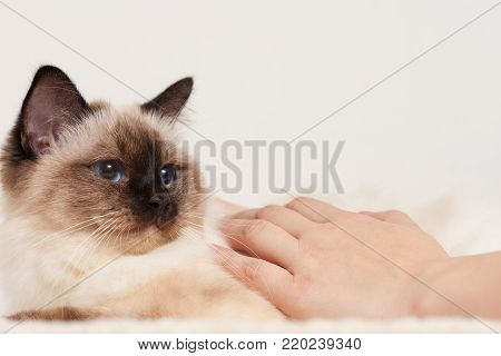A seal point Birman cat, 9 month old cat, male being stroked by a woman's hands