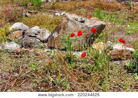 Close-up of poppies in bloom in ancient ruins in Dion, Greece