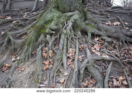 The roots of an old tree in a park. Late autumn in a forest. green moss trunk and roots over the ground.
