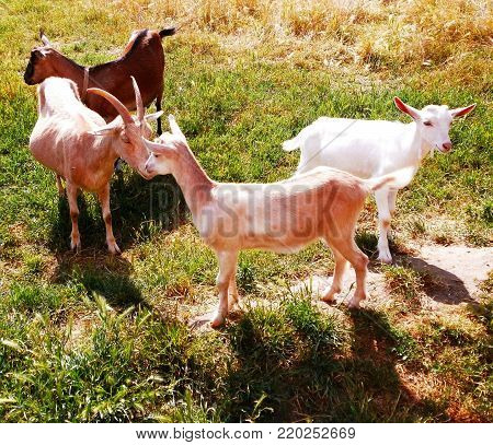 Four goats on a sunny day day meadow
