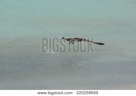 Sanderling bird with his wings extended flying over tropical waters.