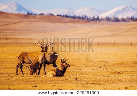 Colorado Mountains Elks. Gang of Elks Near Eleven Mile Lake. Colorado, United States of America.