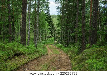Road in the forest. Reserved woods of Belarus. Centennial firs grow. The nature of Central Europe. The forest in the summer.