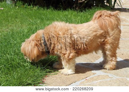 Red Lhasa Apso dog sniffing grass in a garden