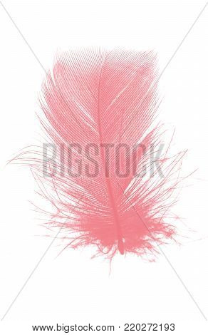 soft coral pink feather on white background