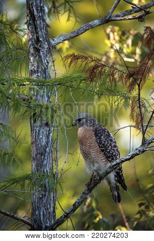 Red Shouldered Hawk Buteo Lineatus Hunts For Prey